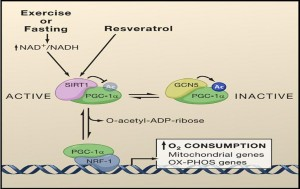 Resveratrol-in-action